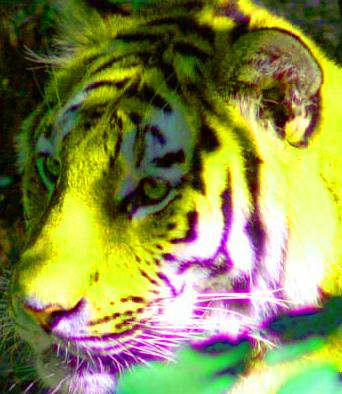 dreaming tiger